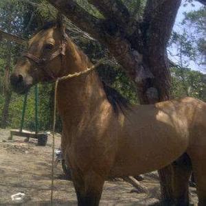 caballo de coleo