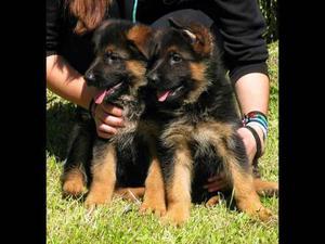 Cachorros De Pastor Alemán Con Pedigree