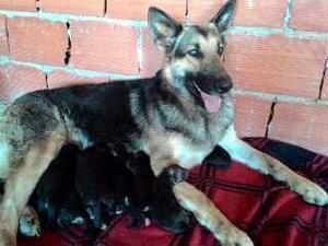 Cachorros Pastor Aleman Puros
