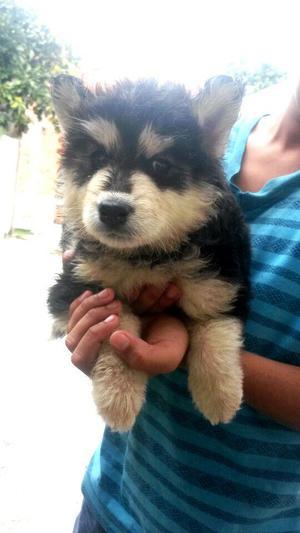 Vendo Cachorros Husky Siberianos Peludos Entrega Inmediata