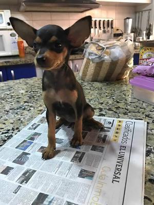 a la venta cachorros pinchers miniatura
