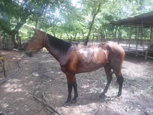 remato caballo yegua potro