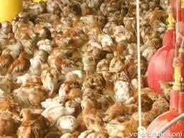 a la venta pollitas ponedoras 14 semanas