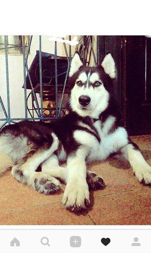 hermoso lobo huskie siberiano busca novia para la monta.