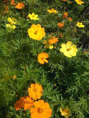 Semillas Flores Jardin Cosmo Multicolor Mas Obsequio