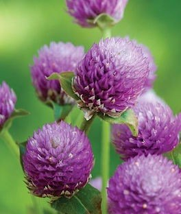 Semillas Flores Jardin Siempreviva Morada Mas Obsequio