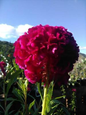 Semillas Flores Jardin Tulipan Celosia Gigante Mas Obsequio