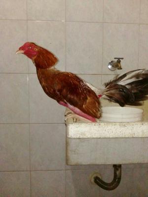 Venta de Pollo