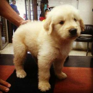 Cachorros De Golden Retriever Con Pedigree