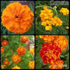 Sobre De Semillas De Flores De Copete