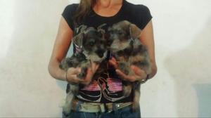 Vendo Hermosos Cachorros Schnauzer