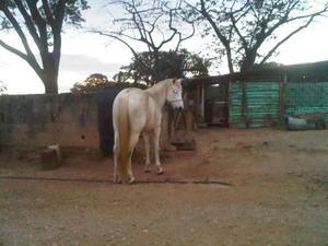 vendo caballo barato o cambio por ovejas y ovejos