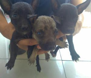 Doy Cachorritos en Adopcion