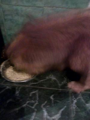 Doy en Adopcion Perro Chow Chow
