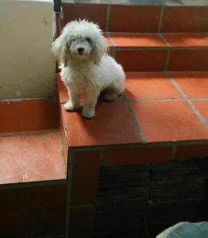 Regalo perra poodle, quien quiere adoptarla SAN CRISTOBAL