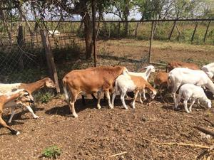 Vendo rebaño de 26 ovejos con Padrote. Hembras preñadas