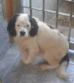 Excelentes Mestizos De Poodles En Adopcion