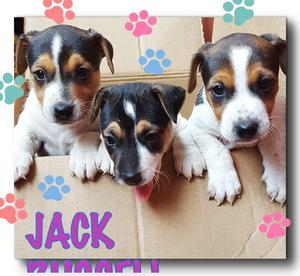 JACK RUSSELL HERMOSOS CACHORROS