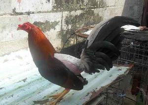 Gallos Y Pollos De Pelea De Primera (a-1)