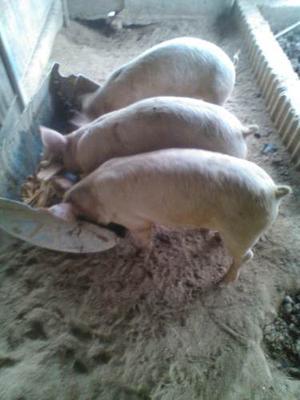 Lechones, + 1 Pie De Cria De 3hembras 1padrote