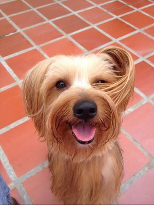 Busco Novia Yorkshire Terrier.