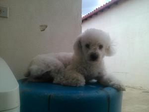 en Adopcion Perrita Poodle