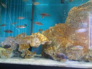 peces 90 ciclidos africanos