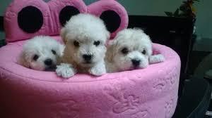 vendo excelentes cachorros mini tois tea cup