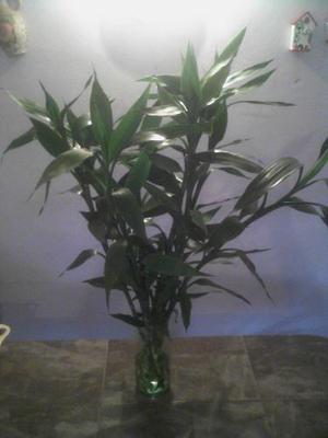 Lucky Bamboo, Bambu Chino O F E R T A