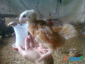 venta de pollitas y pollas ponedoras