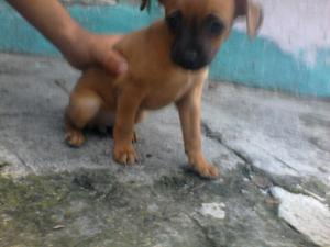Pincher Cachorra