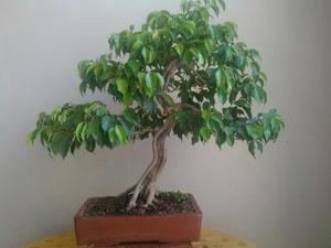 Arbolitos bonsai de cuarzo y cobre posot class for Bonsai vendo