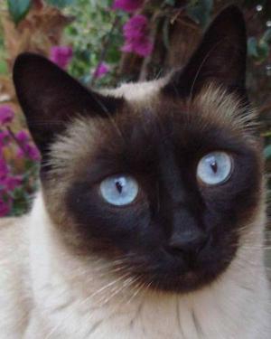 Doy En Adopcion Hermoso Gato Siames