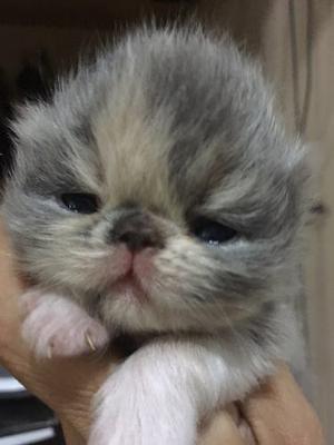 Gatos Persa Extremo Nacidos Nacidos El 17 De Abril