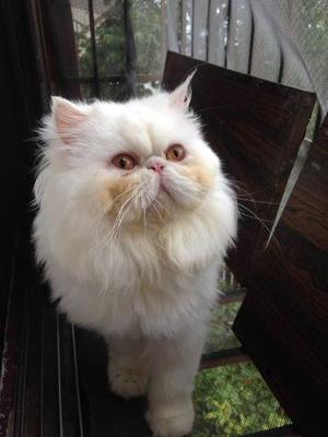 Mi Gatito Necesita Una Hermosa Novia