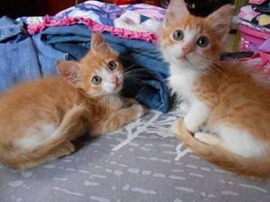 Hermosos Gatitos Naranja Con Blanco En Adopcion