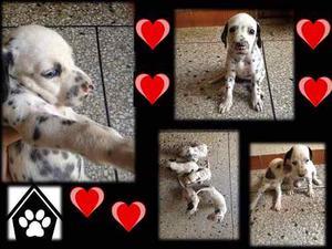 Cachorros Dalmata 100% Puros. Envio A Nivel Nacional