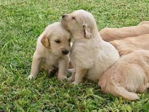 Cachorros Golden Retriever Puras Hembras