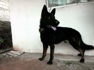 Cachorros Pastor Aleman Sable Linea Ddr Con Certificado