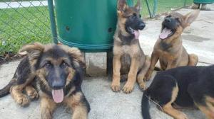 Cachorros Pastor Alemán 100%