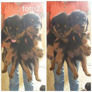 Cachorros Rottwailer Padres Con Pedigree.