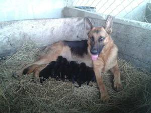 Excelentes Cachorros De Pastor Alemán (padres Con Pedigree)