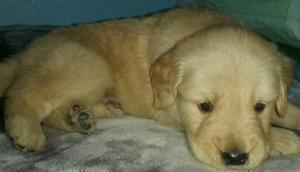 Vendo Cachorro Golden Retriever