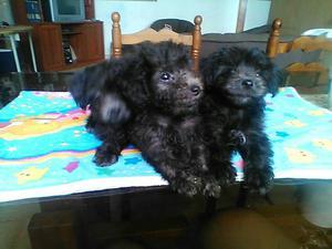 En venta cachorros poddle mini toy