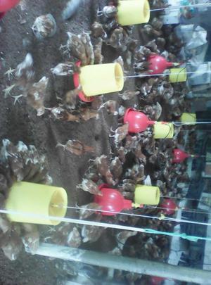 venta de pollonas y pollitas ponedoras