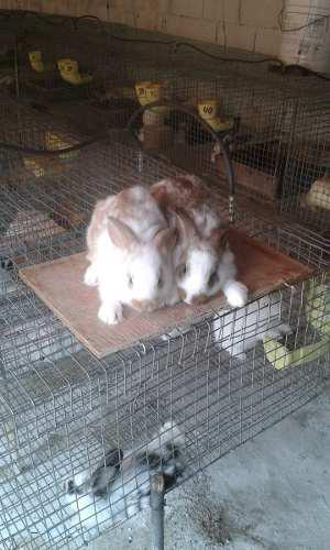 Conejos, Futuros Padrotes