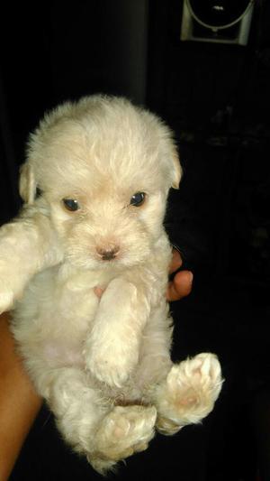 Vend Bellas Cachorritas Poodle Y Pincher
