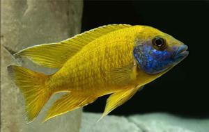 peces cliclidos ANZOATEGUI