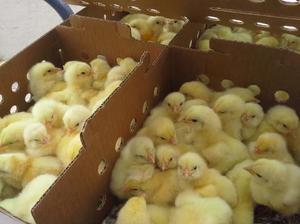 pollo coop 500