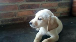 Vendo Cachorro Golden Retriever Labrador